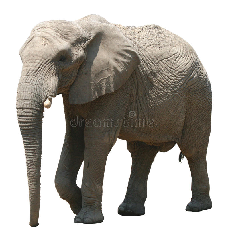 Free African Elephant On White Background Royalty Free Stock Photography - 90693697
