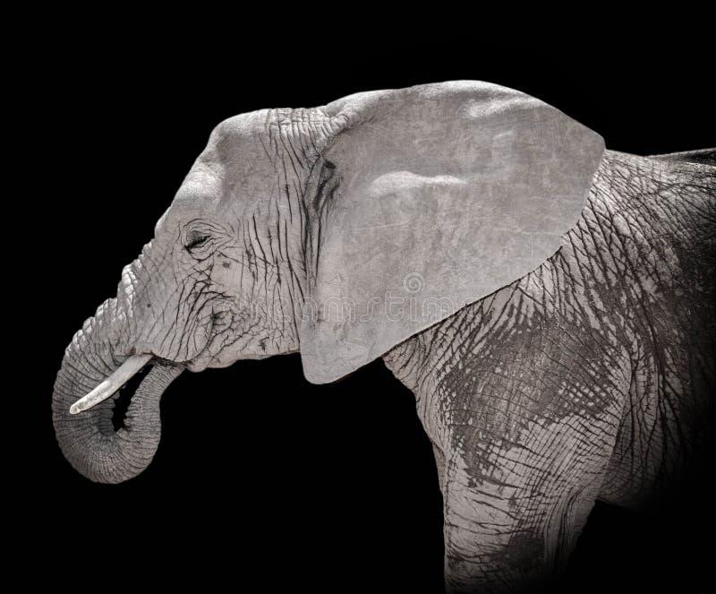 African Elephant portrait stock photography