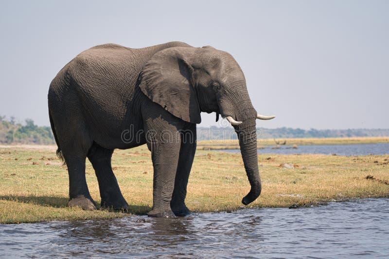 African elephant portrait in Chobe park safari, Zimbabwe, Africa stock photography