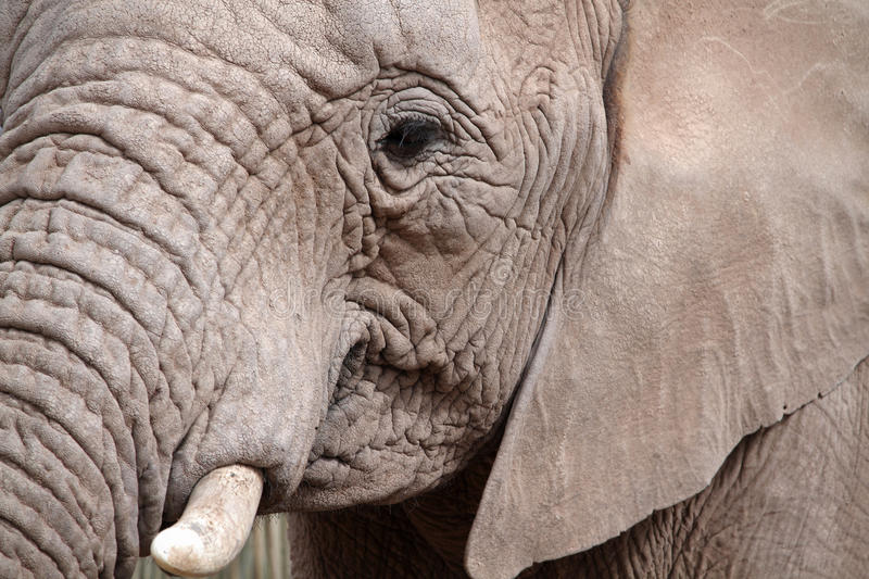 African Elephant portrait royalty free stock images