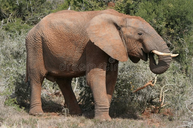 Download African Elephant Profile Royalty Free Stock Photos - Image: 6761618