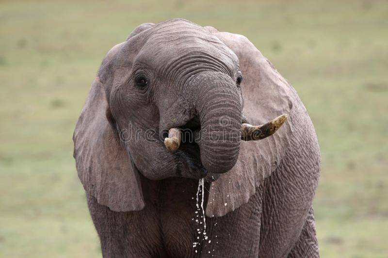 Download African Elephant Quenching Thirst Stock Image - Image: 14866405