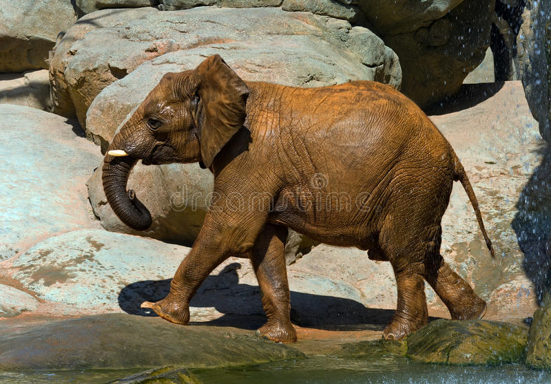 Download African Elephant, Recently Bathed. Stock Photo - Image: 20885910