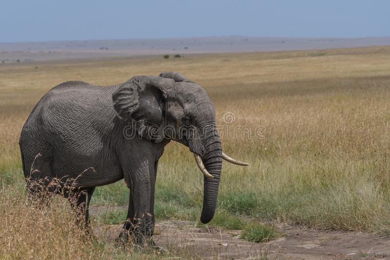 An African Elephant Posing in Savanna royalty free stock image