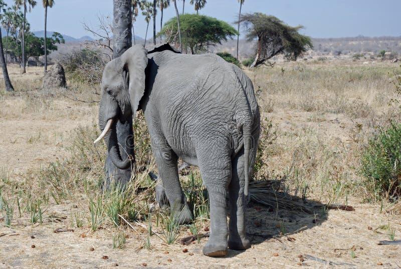 African Elephant with savannah woodland -Tanzania. African elephant also known as savannah elephants ( Loxodonta Africana Africana) with dry savannah woodland royalty free stock photography