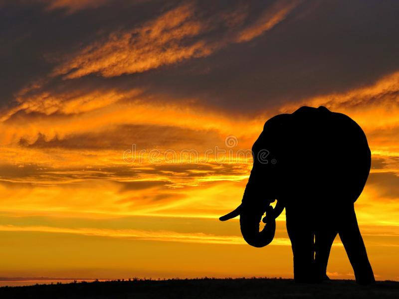 download african elephant silhouette at sunset in africa stock image image 83487871
