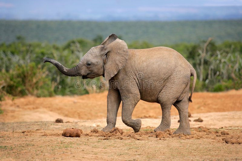 African elephant, South Africa stock photo