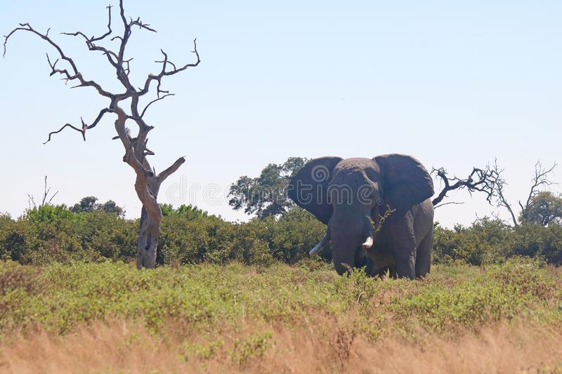 AFRICAN ELEPHANT STANDING IN GRASS AND VEGETATION royalty free stock photos