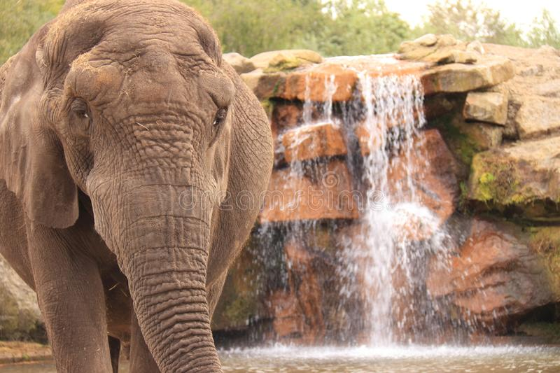 African elephant standing next to waterfall royalty free stock image