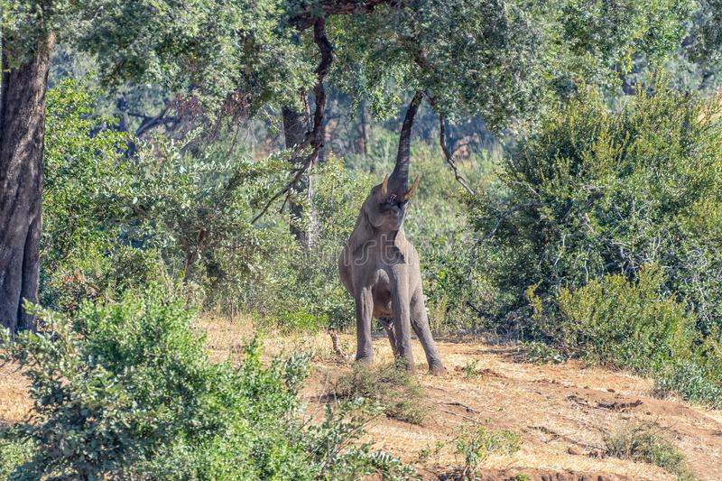African elephant stretching to reach foilage of a large tree royalty free stock photo