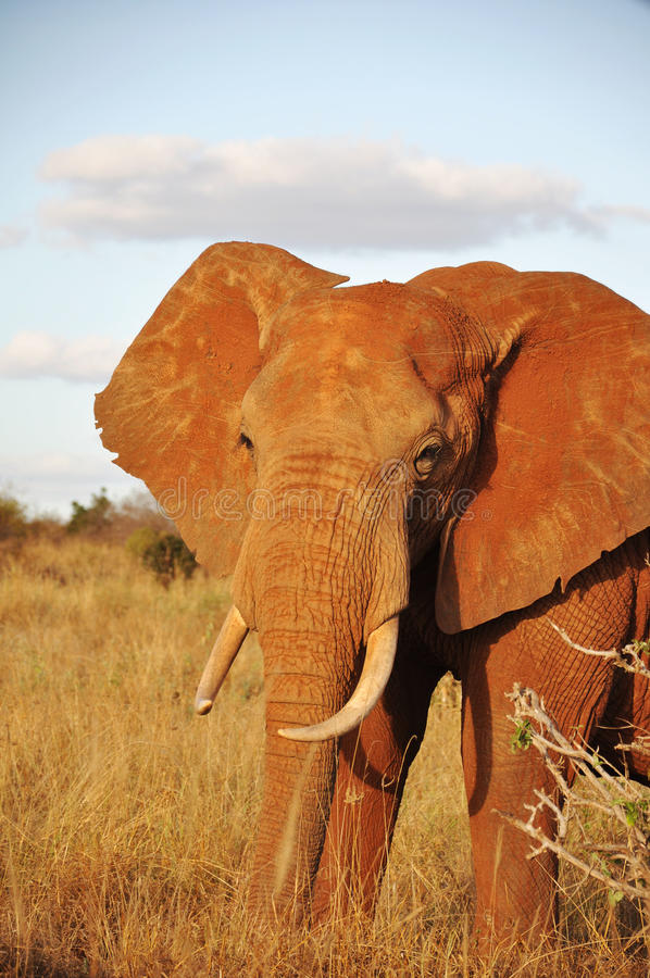 The african elephant royalty free stock photography