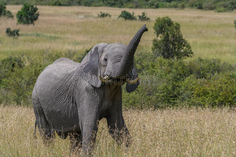 Blow your own trumpet An African elephant royalty free stock photos