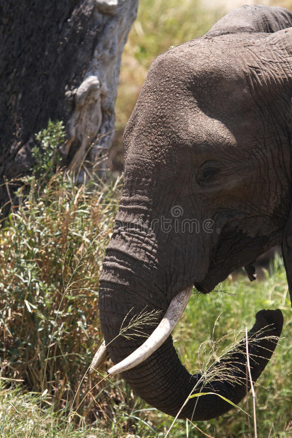 Download African Elephant With Tusks Stock Photo - Image: 19645812
