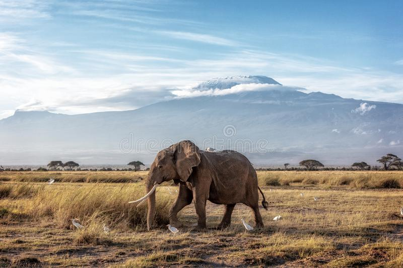 African Elephant Walking Past Mount Kilimanjaro. African elephant walking in front of Mount Kilimanjaro in Amboseli, Kenya Africa royalty free stock image
