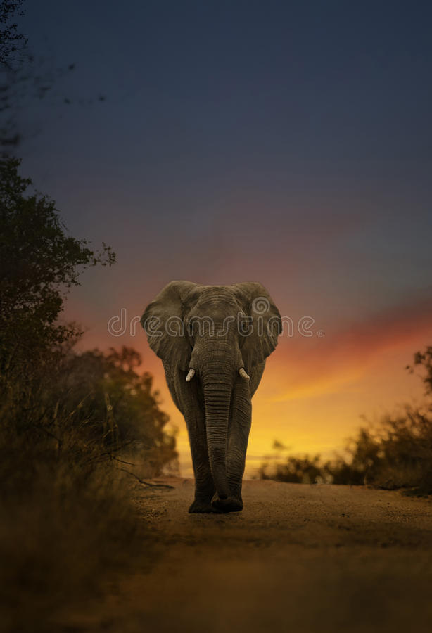 African elephant walking in sunset royalty free stock image