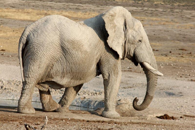 African Elephant Walking stock image