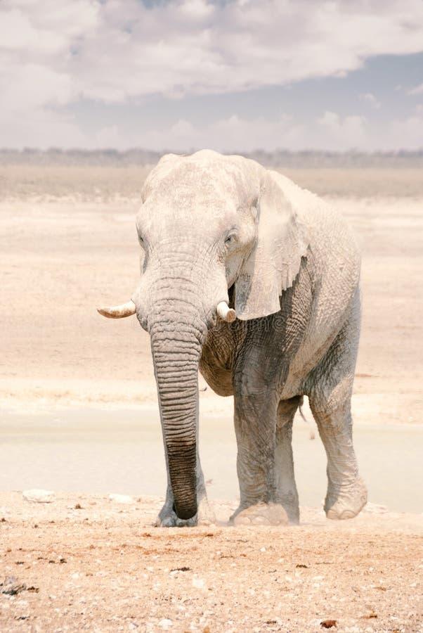 African Elephant in Namibia - Etosha National Park stock photos