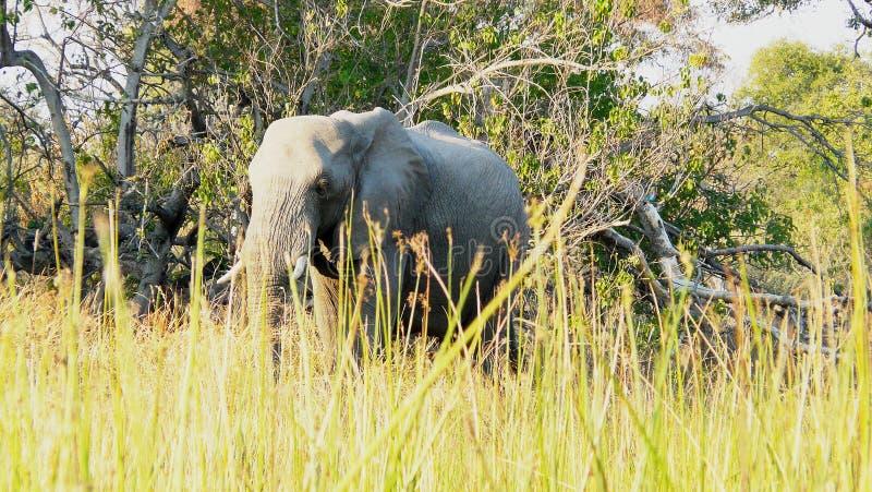 African elephant walks through the grass in Pom-Pom island private game reserve in Okavango delta, Botswana, Africa.  stock photo