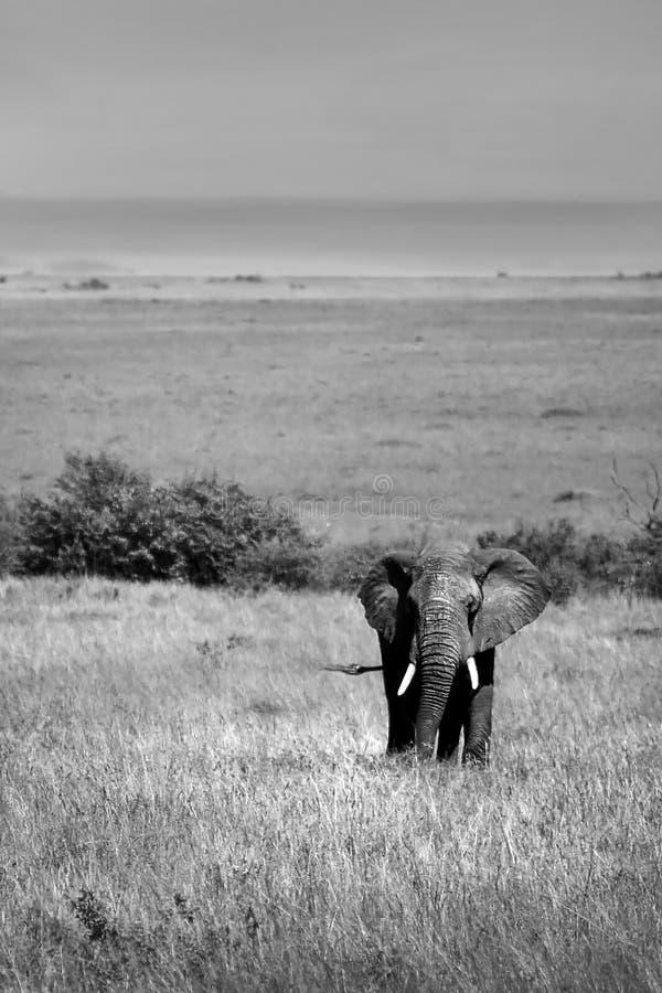 African Elephant in the wild. Black and white photo, safari travel, Kenya, Masai Mara royalty free stock images