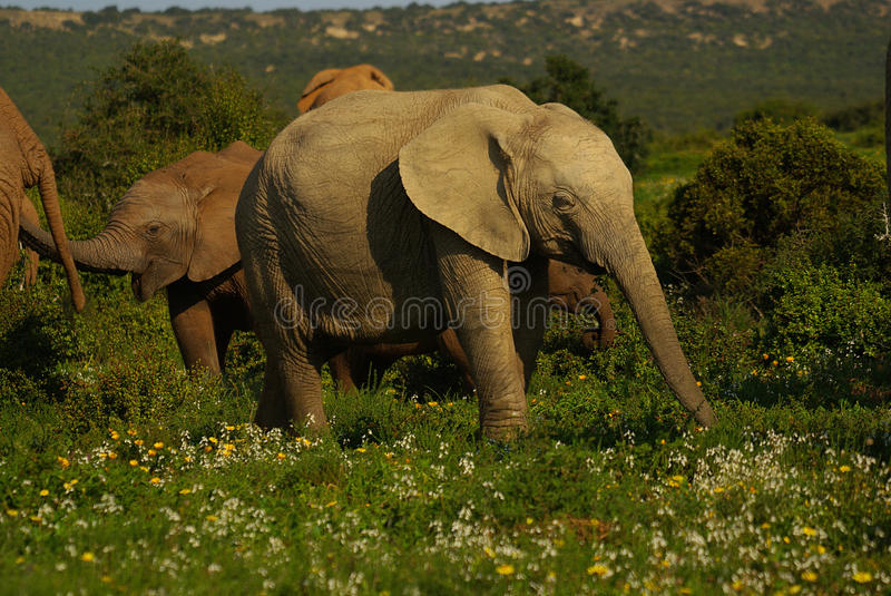 African elephant. Young elephant at Addo National Park royalty free stock photo