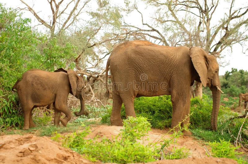 African elephant. Young elephant with mother at Kruger National Park royalty free stock photos