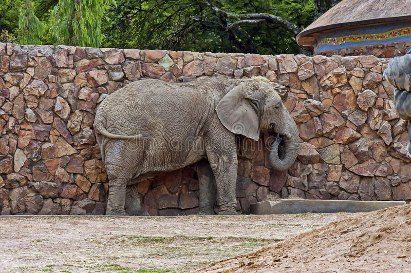 African elephant in zoo stock images