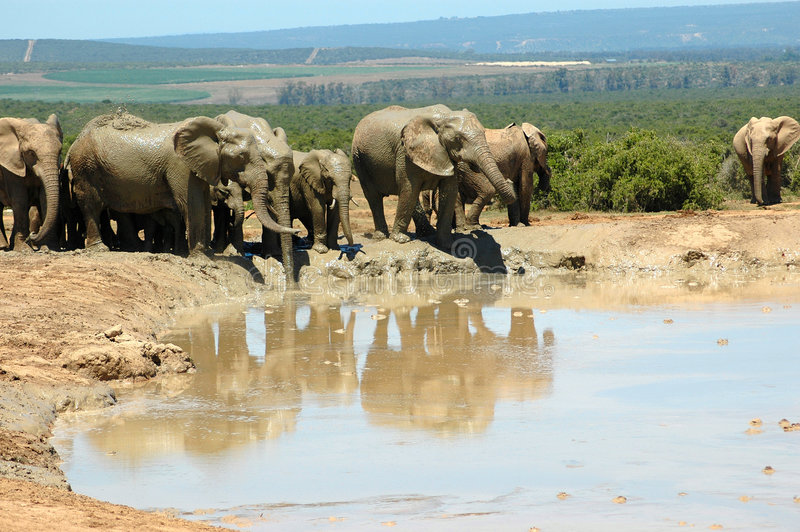 African elephants. Together in a herd drinking with their big trunks at a water hole in a game park in South Africa stock photo