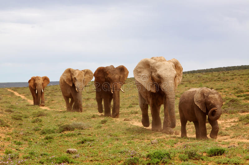 Download African Elephants stock image. Image of activity, holiday - 14998401