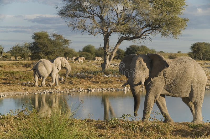 African elephants. Standing at waterhole royalty free stock image