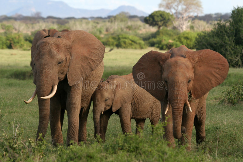Download African Elephants stock photo. Image of national, baby - 1674452