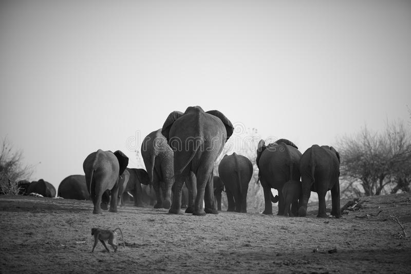 African Elephants. A herd of African elephants (Loxodonta Africana) on the banks of the Chobe River in Botswana walking away from the river royalty free stock image