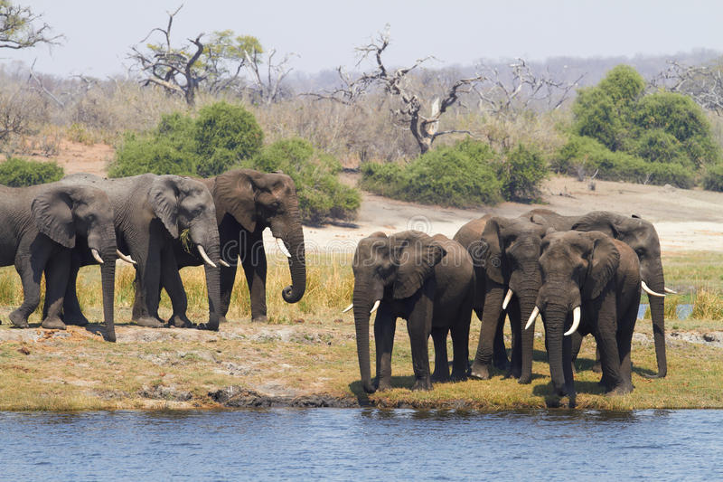 African Elephants. A herd of African elephants (Loxodonta Africana) on the banks of the Chobe River in Botswana drinking water royalty free stock photo
