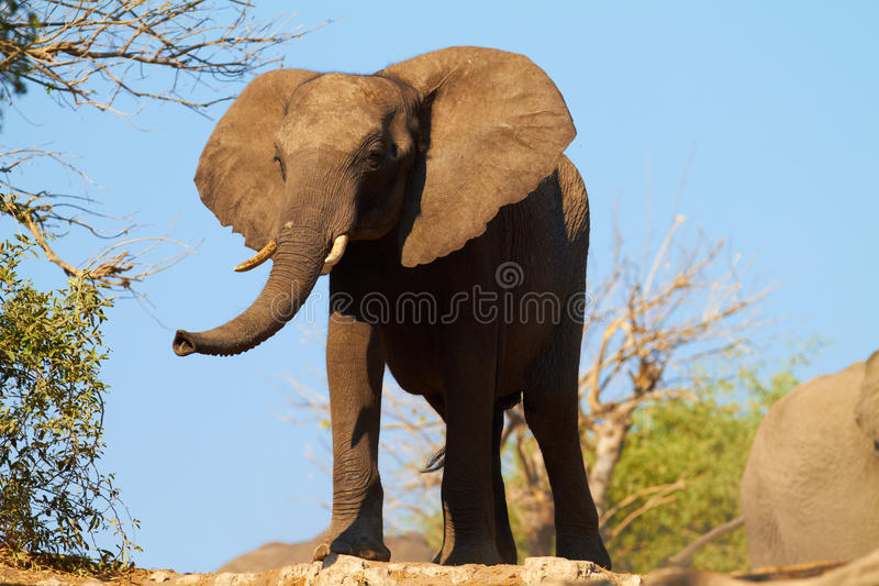 African Elephants. A herd of African elephants (Loxodonta Africana) on the banks of the Chobe River in Botswana drinking water royalty free stock image