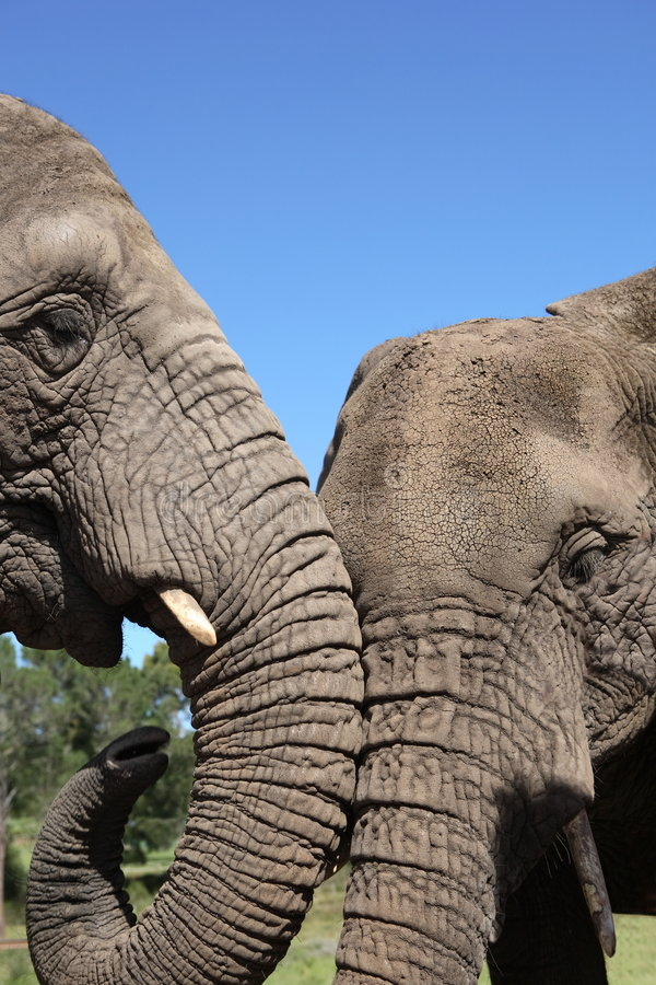 African Elephants. Two African Elephants, South Africa stock image