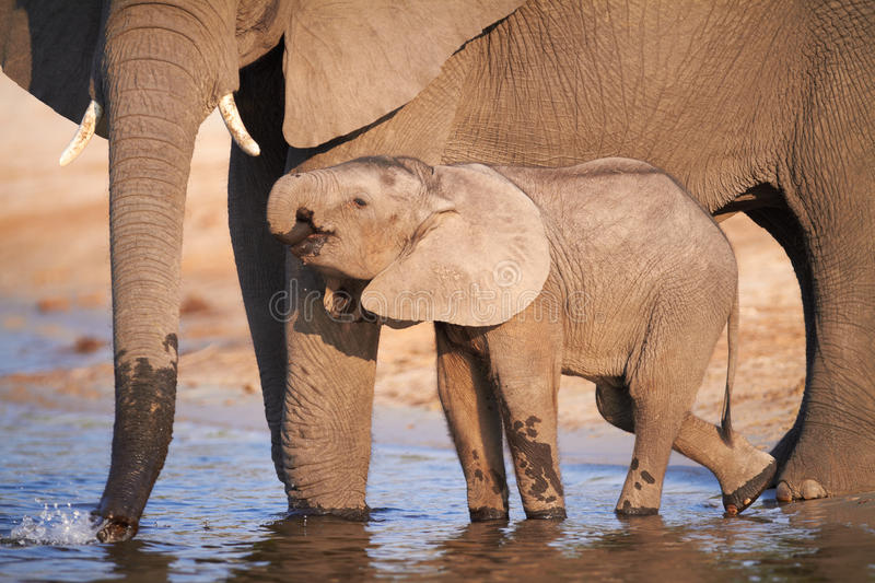 African Elephants. A herd of African elephants (Loxodonta Africana) on the banks of the Chobe River in Botswana drinking water, with juveniles and a calf stock photo