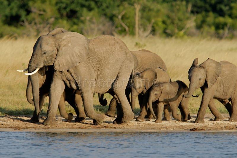 African elephants. Herd of African elephants (Loxodonta africana) at a waterhole, Hwange National Park, Zimbabwe royalty free stock photos