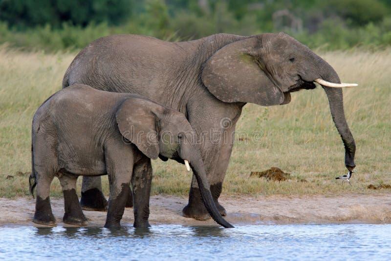 African elephants. Two African elephants (Loxodonta africana) at a waterhole, Hwange National Park, Zimbabwe royalty free stock photo
