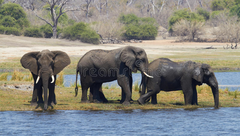 African Elephants. A herd of African elephants (Loxodonta Africana) on the banks of the Chobe River in Botswana drinking water royalty free stock photography
