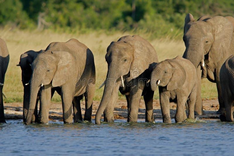 African elephants stock photo
