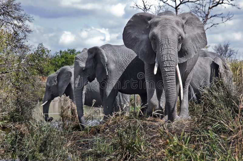 African Elephants. At Kruger National Park royalty free stock photography