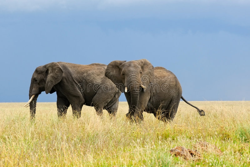 African elephants. Two adult african elephants in savannah royalty free stock image