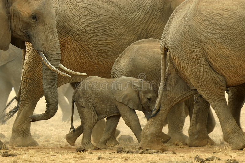 African Elephants. Herd of African elephants moving with baby elephant in the middle stock photos