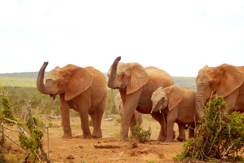 African elephants. A herd of wild African elephants walking together and lifting up their trunks in the air to smell another herd in a game park in South Africa royalty free stock image