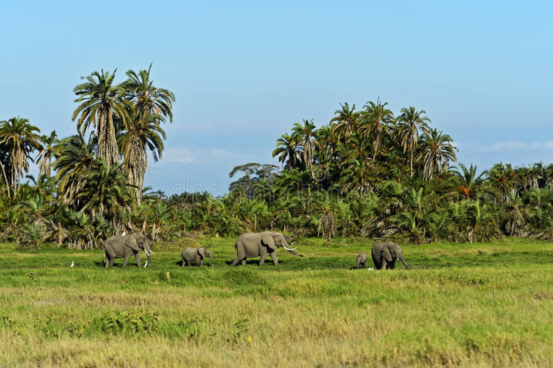 African elephants. In Amboseli National Park Africa royalty free stock image
