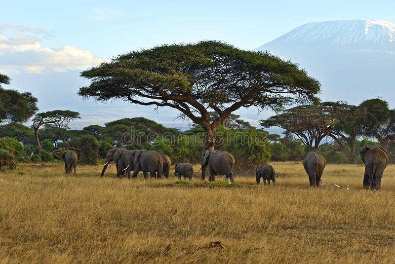 African elephants. In Amboseli National Park Africa stock photos