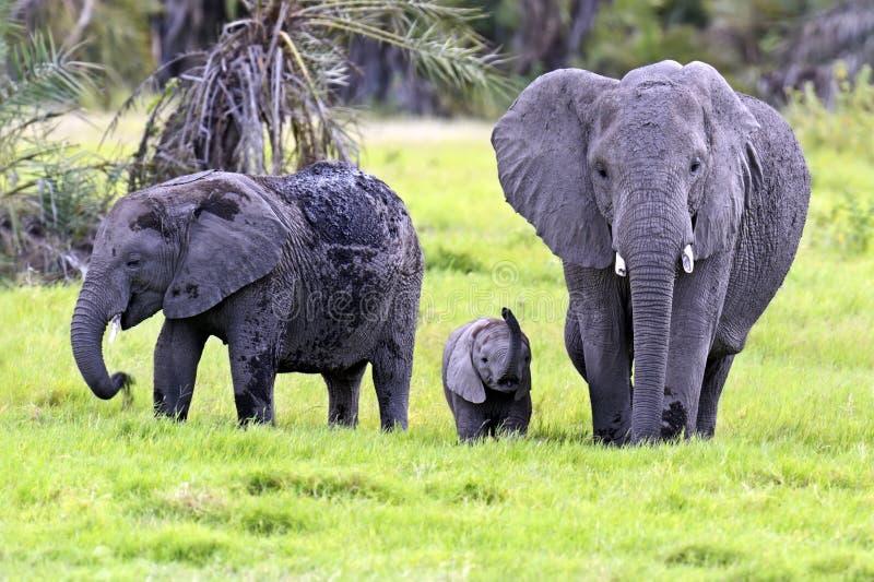 African elephants. In Amboseli National Park . Kenya stock photo