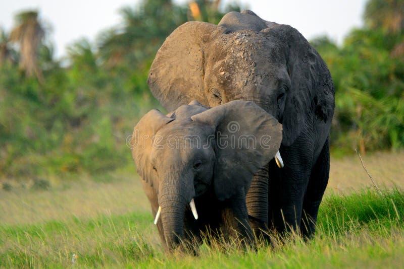 African elephants, Amboseli National Park, Kenya. African elephants in Amboseli National Park, Kenya stock image