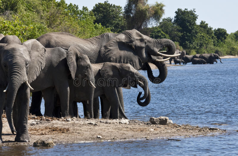 African Elephants - Botswana. A group of African Elephants (Loxodonta africana) drinking from the Chobe River in Chobe National Park in northern Botswana royalty free stock image