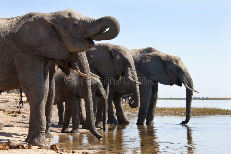 African Elephants - Botswana royalty free stock images