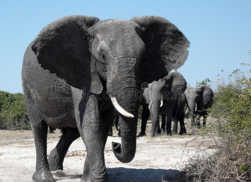 African Elephants - Botswana. A group of African Elephants (Loxodonta africana) in the Chobe River area of Botswana stock images